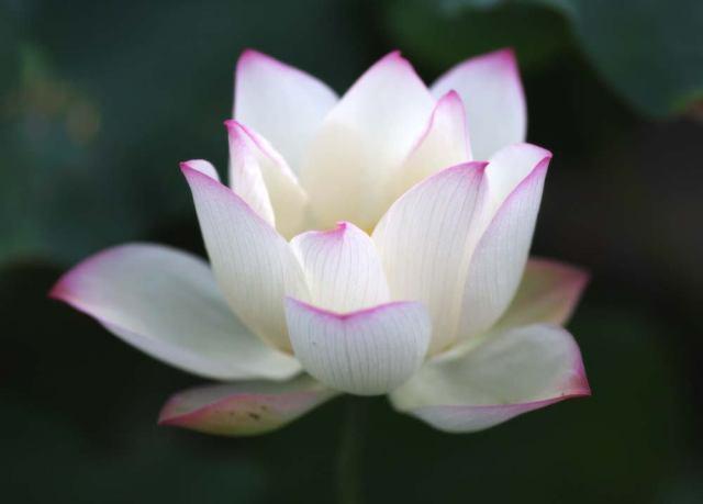 flor-de-lotos