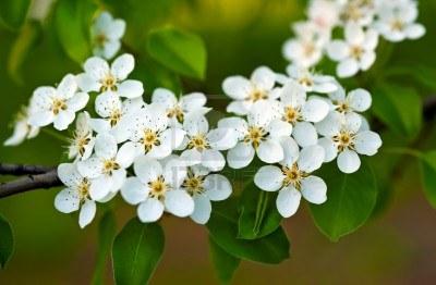 9571700-flores-de-azahar-blanco-d