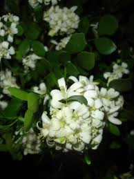 flores azharree