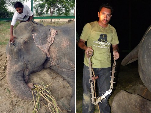 crying-elephant-raju-rescued-chained-50-years-8 (1)