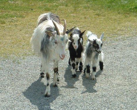 cabra-trio