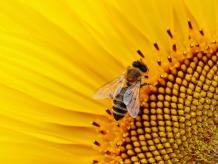 sun-flower-1643794_1920
